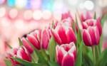 spring-pink-tulips-bokeh-hd-wallpaper